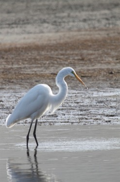 Salmon Creek Egret