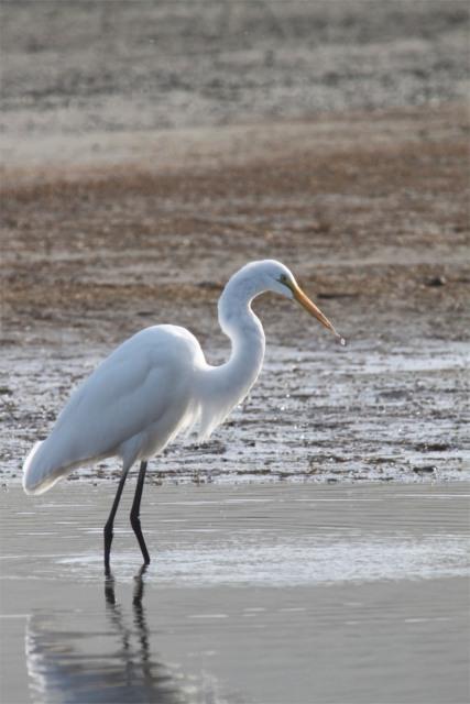 Salmon Creek Egret